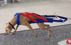 Red/Blue Weight Pull Harness