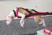 Brown/Hot Pink Fur Weight Pull Harness