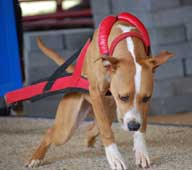 Red/Black Weight Pull Harness