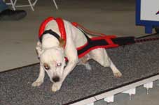 Black/Red Weight Pull Harness