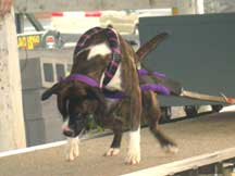Black/Purple Weight Pull Harness