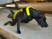 Black/Yellow Weight Pull Harness