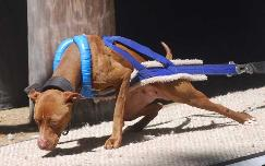 Blue/White Fur Weight Pull Harness