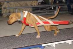 Red/White Weight Pull Harness